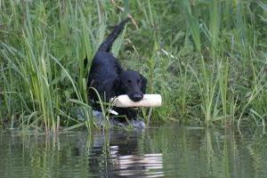 flatcoated retriever in het water